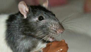 rat-16927_1280